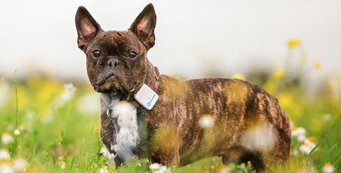 GPS lokátor na obojek pro psa – francouzský buldoček